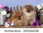 pomeranian spitz puppies and... | Shutterstock . vector #203186338