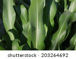 Green Leaves Of Corn. Plant...