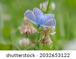 Male Common Blue Butterfly ...