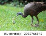 A Female Mother Turkey ...