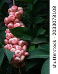 Wax Apple  Syzygium...