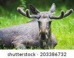 Small photo of Alces alces - Moose male