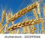 golden wheat ears against blue... | Shutterstock . vector #203395066