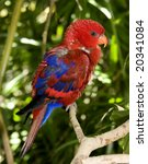 red lorikeet parrot | Shutterstock . vector #20341084