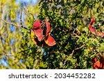 Dark Red Seedpods On Leafy...
