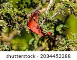Bright Red Seedpod On Tree With ...