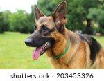 german shepherd  young german... | Shutterstock . vector #203453326