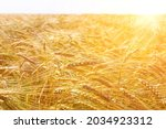 Ripe Golden Ears Of Wheat Bent...