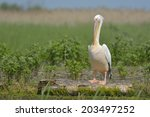 white pelican on a log in... | Shutterstock . vector #203497252