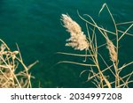 Reed  In Wet Places  It Is A...
