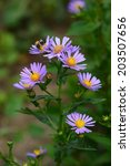 Small photo of Alpine aster (Aster alpinus)