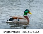 Wild duck  anas platyrhynchos ...