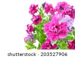 Pink Petunia Flowers Isolated...