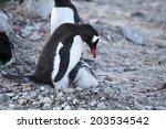 gentoo penguin feading baby ... | Shutterstock . vector #203534542