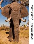 elephant   Shutterstock . vector #203562352