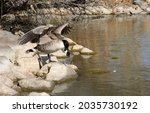 Canada Goose Spreading Wings To ...