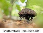 Strobilomyces Floccopus And...