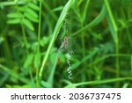 Wasp Spider On Cobweb With...