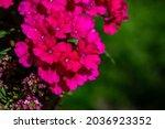 Blooming Red Verbena Flowers On ...