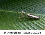 Praying Mantis Posing On Green...