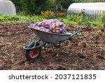 Sacks Of Potatoes In A Garden...