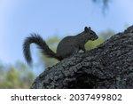 Gray Squirrel Climbing Oak Tree ...
