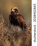 Eurasian Marsh Harrier Drenched ...