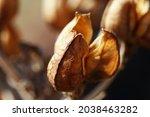 Dry Brown Chincherechee Seedpod ...