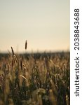 Small photo of Timothy grass in the evening sun.