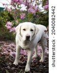 Portrait Of White Labrador Dog...