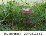 Edible Mushroom Leccinum...