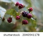 Branch Of Black Raspberry Or...