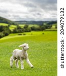 Small Cute Lamb Gambolling In ...