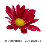 Red Daisy Flower On A White...