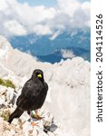 Small photo of Alpine chough sitting on a rock with mountains in the back