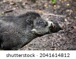 Big Adult Boar Of Visayan Warty ...
