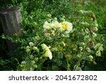 Yellow Alcea Rosea Blooms In...