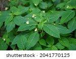 Impatiens Parviflora  Small...