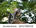 Close Up Of A Ring Tailed Lemur ...
