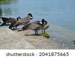 Canadian Geese  Branta...