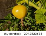 A Small Yellow Fruit Of The...