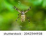Wasp Spider  Argiope Bruennichi ...