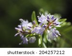 Small photo of Flowers Of Hebe ' Boolean Boulder Lake '