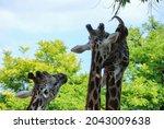 Very Cute Giraffe Eats And...