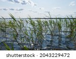 Young Reeds Grow In The Lake....