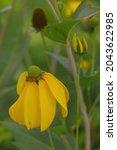 Blooming Yellow Ratibida...