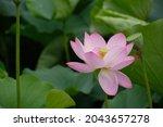 Closeup Of Lotus Blossom And...