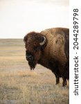 Close Up Bison At Sunrise In...