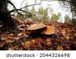 Brown Cap Boletus In Autumn...
