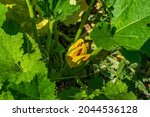 Pumpkin Young Flowers Of...